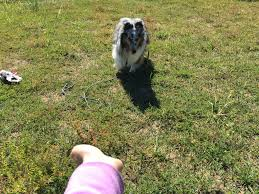 training a australian shepherd 6 tips to train the most versatile u201ctrick u201d the hand touch