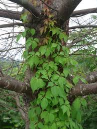 poison ivy u201clooks similar u201d to virginia creeper identify that plant