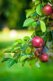 free photo apple tree fruit food free image on pixabay 484529