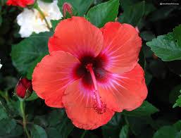 hibiscus flower varieties