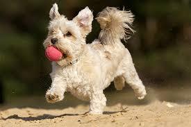 affenpinscher maltese mix maltese shih tzu dog breed information pictures characteristics