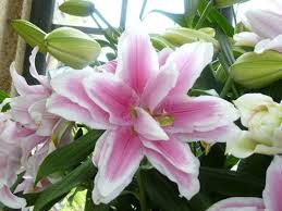 asian lilies anj and jezzi the aries images asian lilies wallpaper and