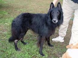 belgian sheepdog groenendael breeder our mission statement belgian sheepdog rescue trust