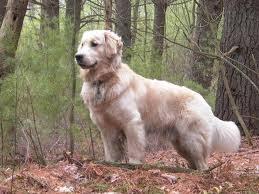 belgian sheepdog golden retriever mix saved by dogs golden retriever really a better breed than the