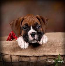 boxer dog sayings boxer dog amigos boxers pinterest pets puppys and boxers