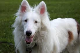australian shepherd double merle the specials adopting a deaf and blind dog the daily pip
