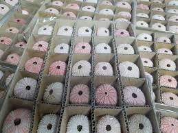 dried sea fans for sale pink sea urchins bulk pink sea urchin sea urchin