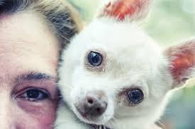 american eskimo dog small chimo