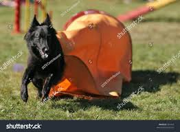 belgian shepherd or border collie a belgian shepherd groenendael running out of tunnel in agility