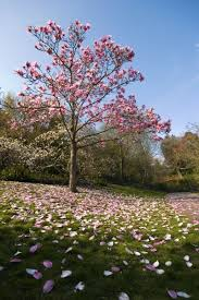 different types of trees magnolia tree types learn about common varieties of magnolia trees