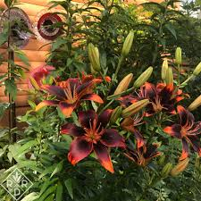 plant lilies for summer garden drama red dirt ramblings
