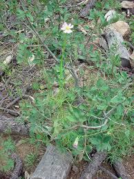 vascular plants of the gila wilderness vascular plants of the gila wilderness cosmos parviflorus