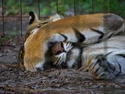 captive animal logic sad animals at big cat rescue photo tour
