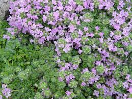 creeping thyme seeds ground cover seeds rock garden plants easy