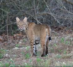 Alabama Wild Animals images Mammals outdoor alabama jpg