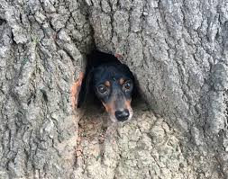 firefighters rescue adorable dachshund stuck inside tree trunk