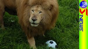 amazing lion in johannesburg zoo who loves playing football youtube