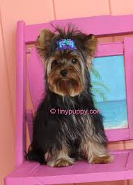 tea cup yorkie hair cuts yorkie haircuts and hairstyles tinypuppy