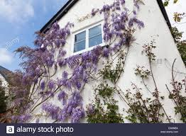 lavender coloured wisteria flowers blooming on side of house in