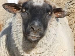 Sheep Home Decor Black Faced Sheep Home Decor Best 25 Wall Clock Decor Ideas On