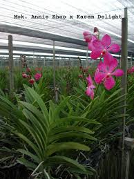 orchid plants for sale orchids asia orchids collectibles plants vanilla spices resource