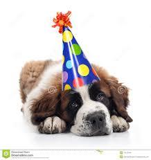 bernard wearing a polka dot birthday hat stock images