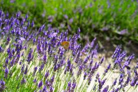 free images nature prairie purple floral aroma green herb