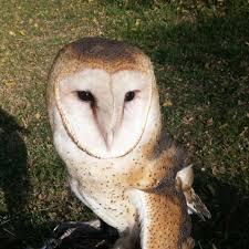 Barn Owl Sounds Barn Owl Animalia