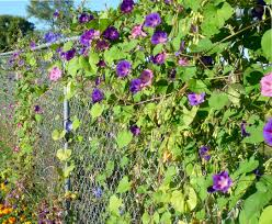 beautiful flowers on a fence morning glories in pink blue