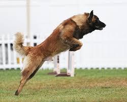 belgian sheepdog youtube wings u2013 farex litter page u2013 haute volée belgian tervuren