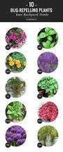 best 25 insect repellent plants ideas on pinterest natural bug