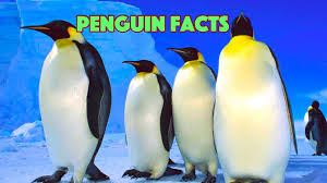5 facts about penguins for kids penguin facts youtube