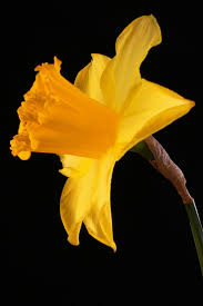 60 best daffodils delight images on pinterest spring flowers