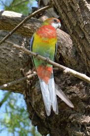 bird of the week 15th april parrots birds in backyards