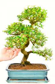 chinese elm indoor bonsai tree supreme range