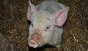 free images animal pork fauna bacon snout vertebrate