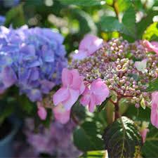 hydrangeas flowers growing blue hydrangeas hydrangea colors hydrangea pruning