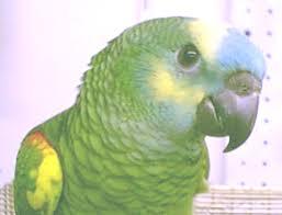 amazon black friday bird cages amazon parrots species focus on amazons
