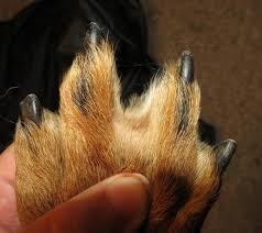 boxer dog feet do great pyrenees dogs ever have webbed feet
