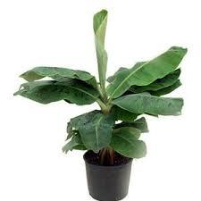 how to grow a banana tree house plants for you house