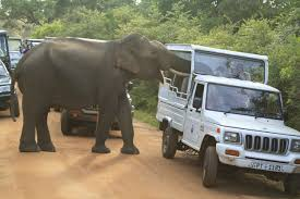 kerala jeep feeding wild elephants make yala u0027s iconic tusker a nuisance