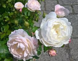 the white garden at kensington palace hrp gardeners u0027 blog