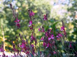 plants native to louisiana clay and limestone gaura is finally happy in the garden