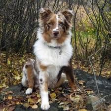 australian shepherd red merle puppy 275 best p u p s images on pinterest animals aussie puppies and