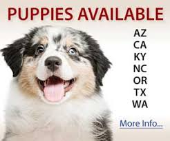 south carolina australian shepherd rescue australian shepherd breeders directory
