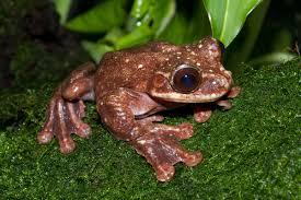 toughie frog wikipedia