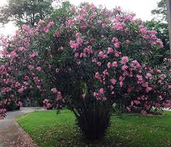 oleander of florida institute of food and