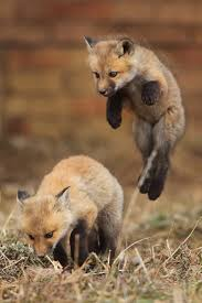 baby foxes the element of surprise fox