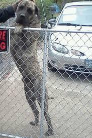 australian shepherd kills child nj boy dead after gruesome bullmastiff attack new york post