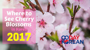 where to see cherry blossoms in korea 2017